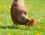 Hen in the farm